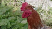 A brown rooster close up Wideo