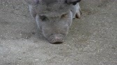 crumble : Close up of the snout of a vietnamese pot bellied pig