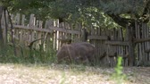 cervidae : A reindeer with big antlers eating in a forest Stock Footage