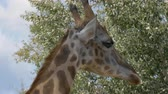 giraffe : Close up of a giraffe