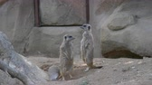 Two meerkats standing while another is digging a hole