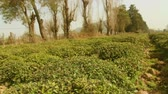 Tea field and tea bushes and trees.