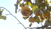 Organic Ripe yellow quince fruit on tree. Close up shot against sunlight.