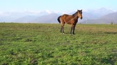 Lonely brown horse on meadow or green grass and mountain with snowy peak in background.