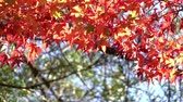 Colorful japanese maple (Acer palmatum) leaves during momiji season at Kyoto, Japan
