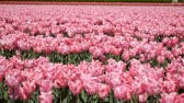 floreios : A field of pink tulips stir in the wind.