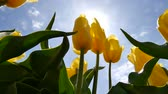 floreios : Close-up of a yellow tulip through the sun.
