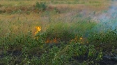 cana : Burning drought grass on the field
