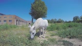Grazing white horse eating green grass on a field near abandoned buildings against a blue sky