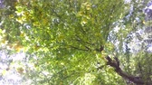 under the green leaves of the tree hiding ripening fruits against the sky