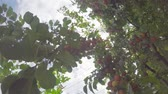 The tree is dotted with ripening fruits under the summer sun against the sky Wideo