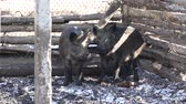 slaughtering : Wild boars on the farm in the pen. female and male wild boars in fear huddled together.