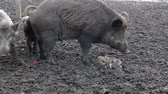 snout : Wild boars on the farm in the pen. Alpha male wild boars do a crap. little pigs pick up shit and start eating it. Stock Footage