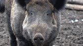 slaughtering : Wild boars on the farm in the pen. head of Alpha male wild boar close-up