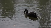 swan : The black swan is a large waterbird, a species of swan, which breeds mainly in the southeast and southwest regions of Australia.