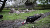 живая природа : The Muscovy duck Cairina moschata is a large duck native to Mexico, Central, and South America.