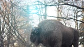 pradaria : The European bison Bison bonasus, also known as wisent or the European wood bison, is a Eurasian species of bison. It is one of two extant species of bison, alongside the American bison.