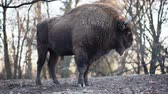 wisent : The European bison Bison bonasus, also known as wisent or the European wood bison, is a Eurasian species of bison. It is one of two extant species of bison, alongside the American bison.