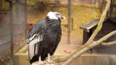 гриф : The Andean condor is a South American bird in the New World vulture family Cathartidae and is the only member of the genus Vultur. Стоковые видеозаписи
