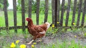 Large red chicken walking near old wood wooden fence.