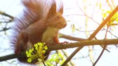 The red squirrel or Eurasian red squirrel (Sciurus vulgaris) is a species of tree squirrel in the genus Sciurus common throughout Eurasia. The red squirrel is an arboreal, omnivorous rodent. Stock Footage