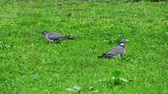 Transfer focus: Common wood pigeon (Columba palumbus) is large species in dove and pigeon family. It belongs to Columba genus and belongs to family Columbidae. In southeast England - as culver.