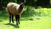The guanaco (Lama guanicoe) is a camelid native to South America. Guanacos have grey faces and small, straight ears. Young guanacos are called chulengos. Stock Footage