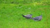 Common wood pigeon (Columba palumbus) is large species in dove and pigeon family. It belongs to Columba genus and belongs to family Columbidae. In southeast England - as culver. Stock Footage