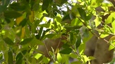 madeira : Phillyrea latifolia, commonly known as green olive tree or mock privet, is a species of tree in the family Oleaceae. Stock Footage