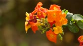 floral : Streptosolen is a genus of flowering plants with a single species, Streptosolen jamesonii, the marmalade bush. It is an evergreen shrub of the Solanaceae family.