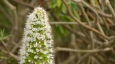 madeira : Echium simplex (Tower of jewels) is a herbaceous biennial plant which grows up to 3 m in height. It is endemic in the island of Tenerife mainly in Macizo de Anaga. Stock Footage