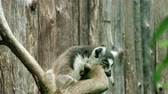 catta : Ring-tailed lemur (Lemur catta) is large strepsirrhine primate and most recognized lemur due to its long, black and white ringed tail. It belongs to Lemuridae. It is endemic to island of Madagascar.