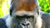 camarões : The western lowland gorilla is one of two subspecies of the western gorilla, that lives in montane, primary and secondary forests and lowland swamps in central Africa. Vídeos