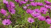 прочный : Purple Osteospermum, daisybushes is genus of flowering plants belonging to Calenduleae, one of smaller tribes of sunflowerdaisy family Asteraceae.