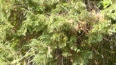 porta : Chamaecyparis lawsoniana, known as Port Orford cedar or Lawson cypress, is species of conifer in genus Chamaecyparis, family Cupressaceae. It is native to Oregon and northwestern California.