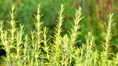 веточка : Rosmarinus officinalis, commonly known as rosemary, is woody, perennial herb with fragrant, evergreen, needle-like leaves, native to the Mediterranean region. It is member of mint family Lamiaceae. Стоковые видеозаписи