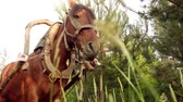 cartn corrugado : The bay horse, harnessed to a wooden cart on the background of summer green countryside.