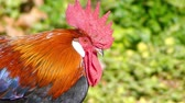 galo novo : Rooster, also known as a cockerel or cock, is a male gallinaceous bird, usually male chicken (Gallus gallus). Mature male chickens are less than one year old are called cockerels. Stock Footage