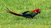 amerika papağanı : Green-winged macaw (Ara chloropterus), also known as red-and-green macaw, is large, mostly-red macaw of Ara genus. This is the largest of the Ara genus, of the northern and central South America.