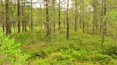 silence : Panorama of Swamp Field In Viru Raba in Lahemaa, Estonia. Stock Footage