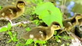 mere : Duck walks with its ducklings in the summer city park. Stock Footage