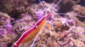 deep sea shrimps : Lysmata amboinensis (Pacific cleaner shrimp) is an omnivorous shrimp species. It is considered a cleaner shrimp as eating parasites and dead tissue from fish makes up of its diet.