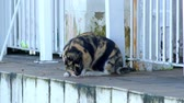 catástrofe : Spotted cat. Stock Footage