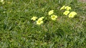 bermudas : Oxalis pes-caprae (Bermuda buttercup, African wood-sorrel, Bermuda sorrel, buttercup oxalis, Cape sorrel, English weed, goats-foot, sourgrass, soursob and soursop, suring, cernua). Stock Footage