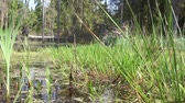 wetland : Marshland in forest in summer