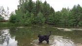 собака : Black Dog Playing And Swimming In A Pond 4K Стоковые видеозаписи