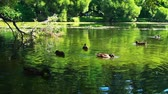 o : Ducks on water in a beautiful city park pond in slow motion Stok Video