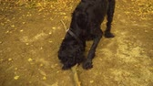 first person view : Black dog watching around and playing with a stick on the field