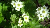 white narcissus : Anemone narcissiflora, the narcissus anemone or narcissus-flowered anemone white flowers with green Stock Footage