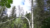brzoza : Birch bent in the forest